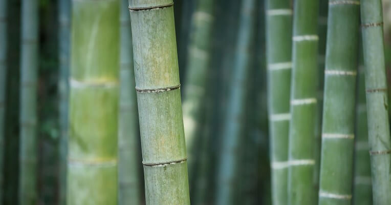 Green bamboo stalks